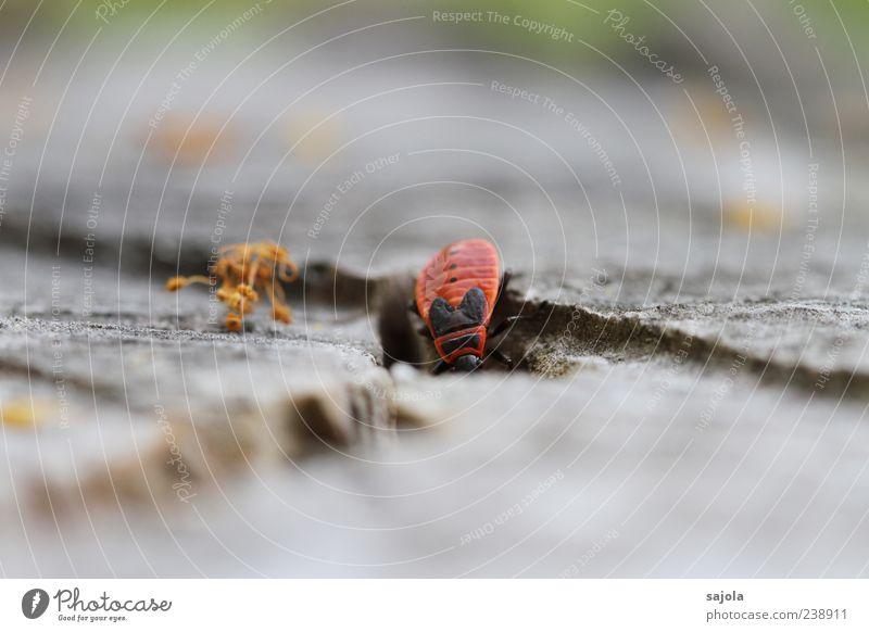 untertauchen Umwelt Natur Tier Käfer Feuerwanze Insekt 1 krabbeln rot Linie diagonal Farbfoto Außenaufnahme Menschenleer Tag Schwache Tiefenschärfe