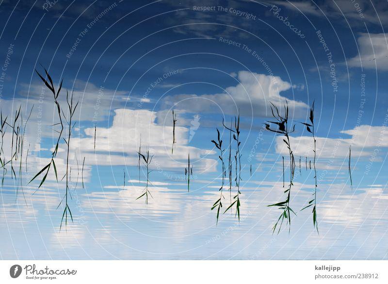 schilfgürtel Umwelt Natur Landschaft Wasser Himmel Wolken Klima Schönes Wetter Pflanze Grünpflanze Wildpflanze Wellen Seeufer Bucht Teich nachhaltig natürlich