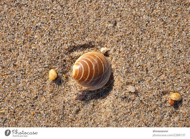 Muschel auf dem Sand Design Erholung Ferien & Urlaub & Reisen Tourismus Sommer Sonne Strand Meer Natur Küste natürlich Idylle tropisch Panzer marin Hintergrund