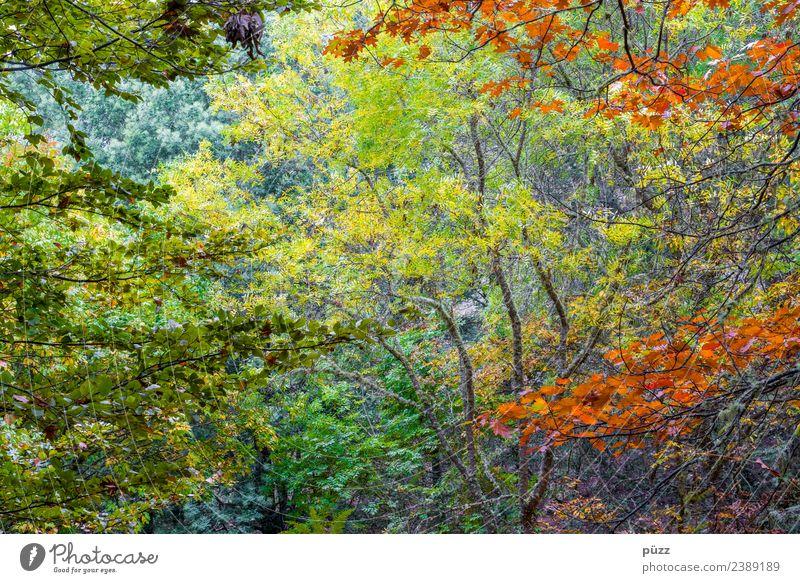 Laub Ferien & Urlaub & Reisen Ausflug Abenteuer Ferne Umwelt Natur Landschaft Pflanze Baum Grünpflanze Wald Urwald Insel Madeira natürlich mehrfarbig gelb grün