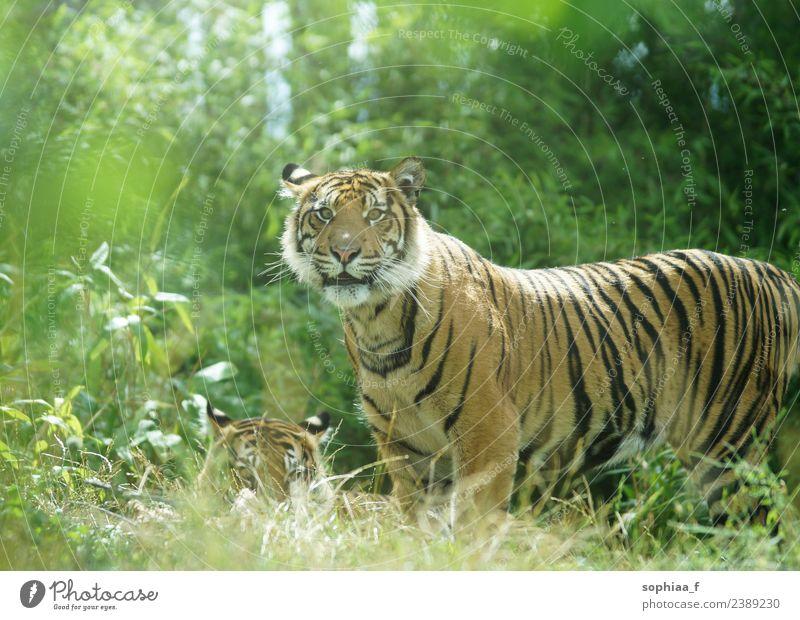 Tigerpaar im Dschungel, wachsamer Tiger steht und schaut in die Kamera zuschauend Stehen Buchse versteckend bewachen Bewachung Sträucher männlich Gras behüten