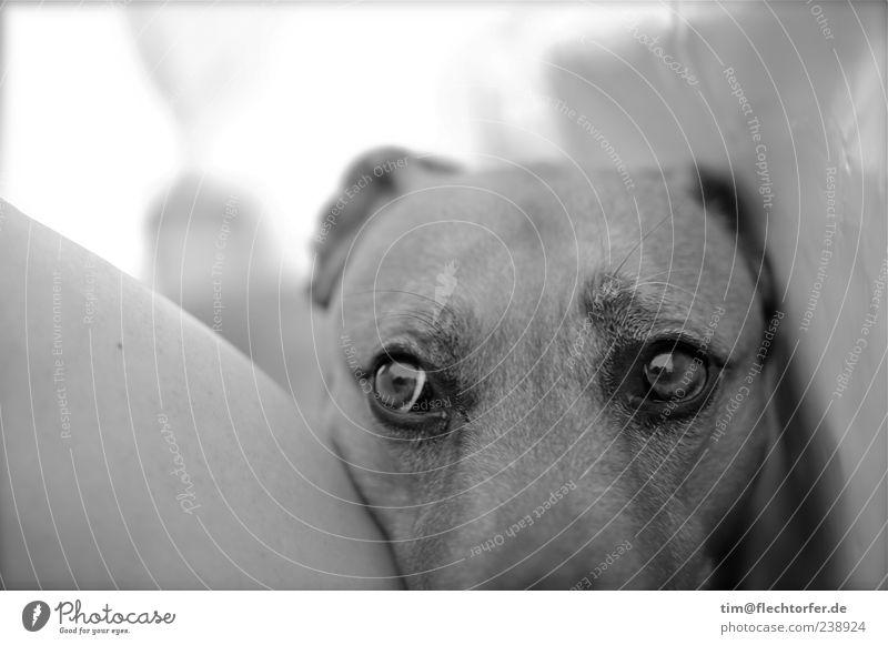 Ganz bescheiden Hund weiß Tier schwarz warten trist niedlich Neugier nah Haustier Begierde Treue geduldig Tierliebe Blick Schwarzweißfoto