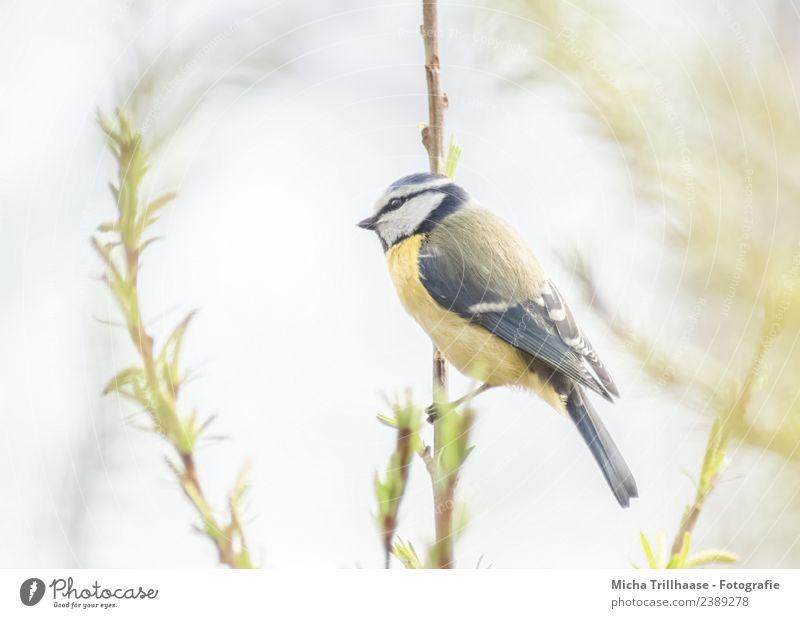 Blaumeise hält Ausschau Himmel Natur blau grün weiß Sonne Baum Tier Blatt gelb Umwelt Vogel Zufriedenheit leuchten Wildtier Schönes Wetter