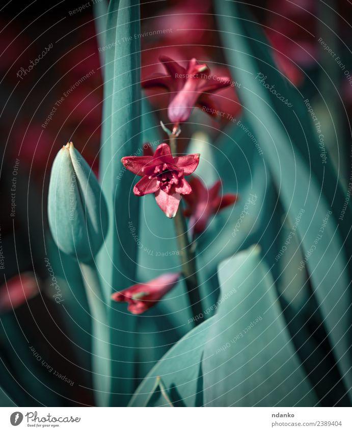 Hyazinthenblüten und grüne Tulpenblätter Natur Pflanze Frühling Blume Blatt Blüte Blühend frisch natürlich rot Farbe Hintergrund geblümt Beautyfotografie