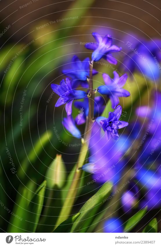 blühende blaue Hyazinthe Natur Pflanze Frühling Blume Blüte Blühend frisch natürlich grün Farbe Hintergrund geblümt Beautyfotografie Jahreszeiten Blütenblatt