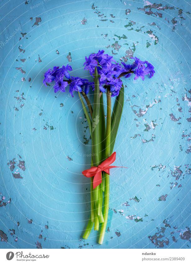 Blumenstrauß aus blauen Hyazinthen Feste & Feiern Muttertag Geburtstag Natur Pflanze Frühling Blüte Blühend frisch natürlich grün Farbe Hintergrund geblümt