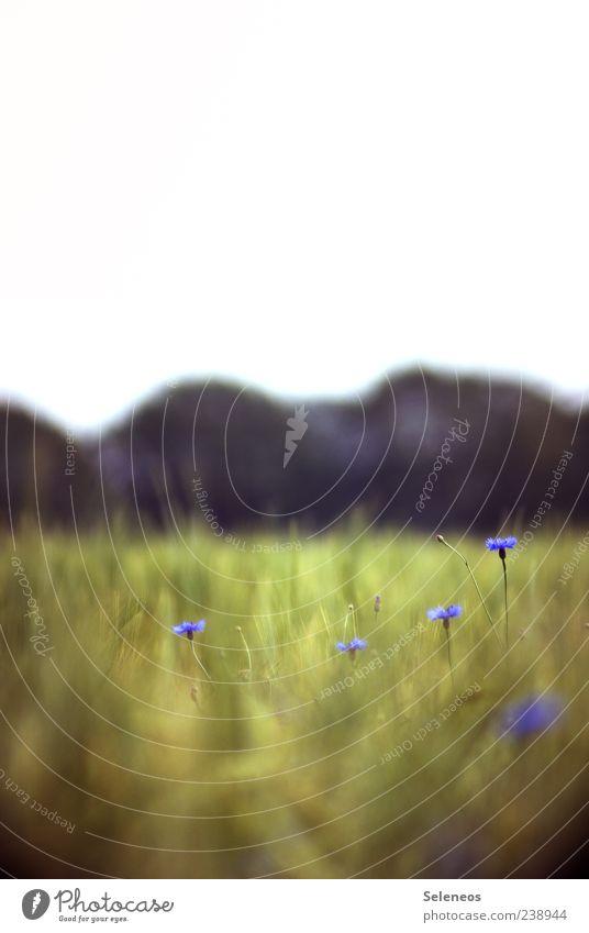 Grobkörnig Getreide Ernährung Sommer Umwelt Natur Landschaft Pflanze Himmel Frühling Blume Kornblume Feld Blühend natürlich Landwirtschaft Farbfoto