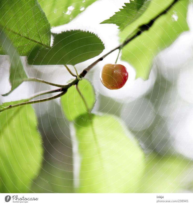 frühreif Natur grün Sommer rot Blatt Frühling natürlich Gesundheit Garten oben Frucht Wachstum frisch genießen süß Schönes Wetter