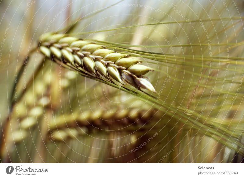 Gerstenfeld Lebensmittel Getreide Gerstenähre Umwelt Natur Pflanze Sommer Nutzpflanze Feld natürlich Farbfoto Außenaufnahme Nahaufnahme Detailaufnahme