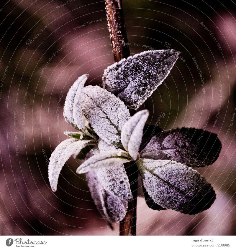 Eisblümchen Natur weiß Pflanze Winter Blatt schwarz Umwelt kalt Gefühle Eis Klima Frost Sträucher gefroren Wildpflanze