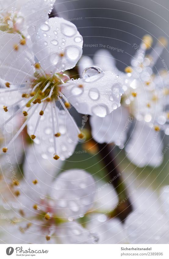 Regentropfen auf Blütenpracht Natur Wassertropfen Sonnenlicht Frühling Pflanze Baum Nutzpflanze Obstbaum Mirabelle Garten frisch schön Tropfen Außenaufnahme