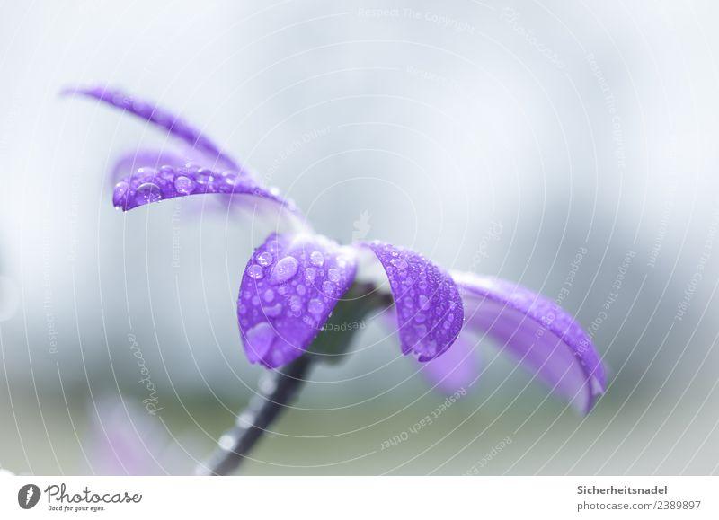 Nahaufnahme Regentropfen Natur Wassertropfen Frühling Pflanze Blüte Topfpflanze Garten Frühlingsgefühle Tropfen Makro Makroaufnahme Menschenleer Tag