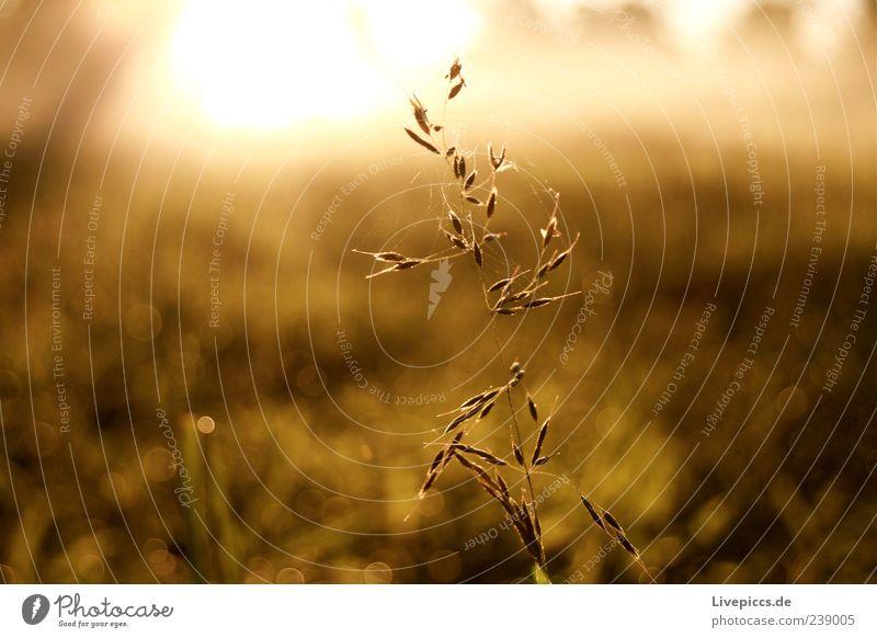 Da Halm Natur schön Pflanze Sonne Sommer Umwelt Landschaft Gras Grünpflanze Wildpflanze Morgendämmerung