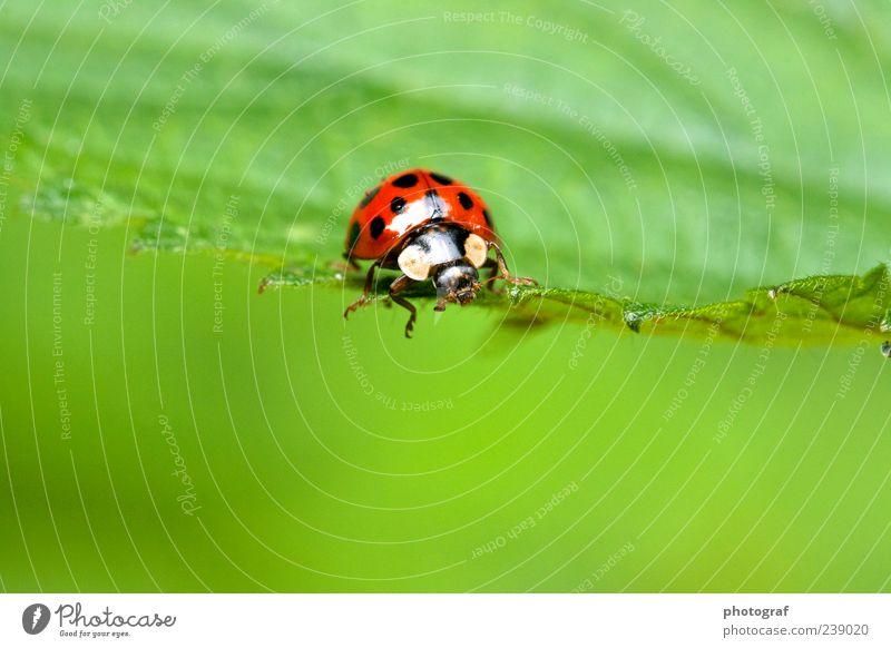 Marienkäfer Tier Käfer 1 Farbfoto Außenaufnahme Menschenleer Tag Tierporträt Blick nach vorn Glücksbringer gepunktet Textfreiraum unten Natur grün Blatt