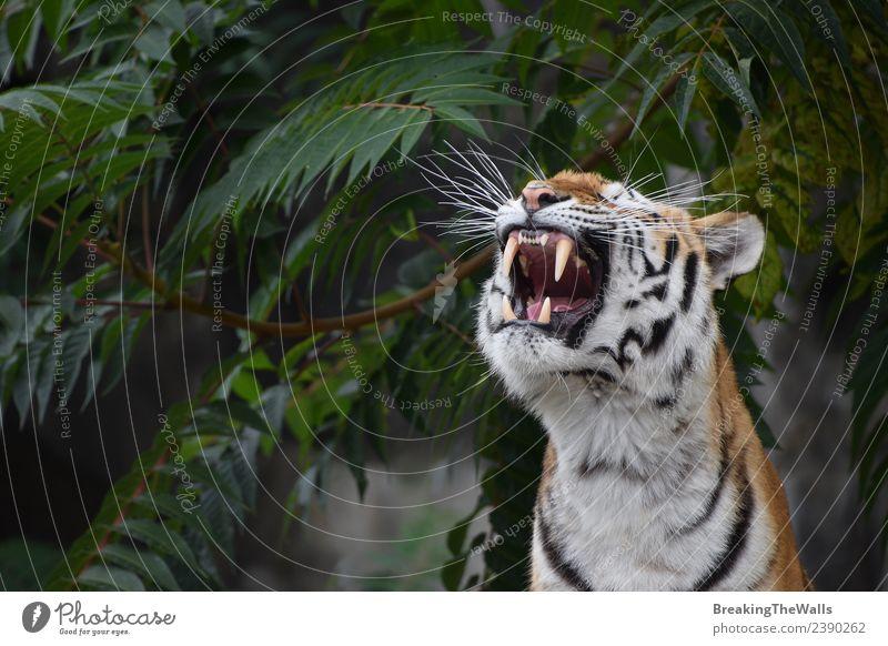 Nahaufnahme des Vorderbilds eines jungen sibirischen Tigers, der brüllt. schön Gesicht Natur Baum Wald Tier Wildtier Katze Tiergesicht Zoo 1 wild grün amur