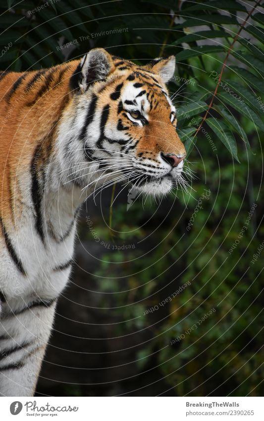 Nahaufnahme des Profilporträts eines jungen sibirischen Tigers Natur Tier Baum Wald Wildtier Katze Zoo 1 beobachten wild grün Wachsamkeit amur Seite Panthera