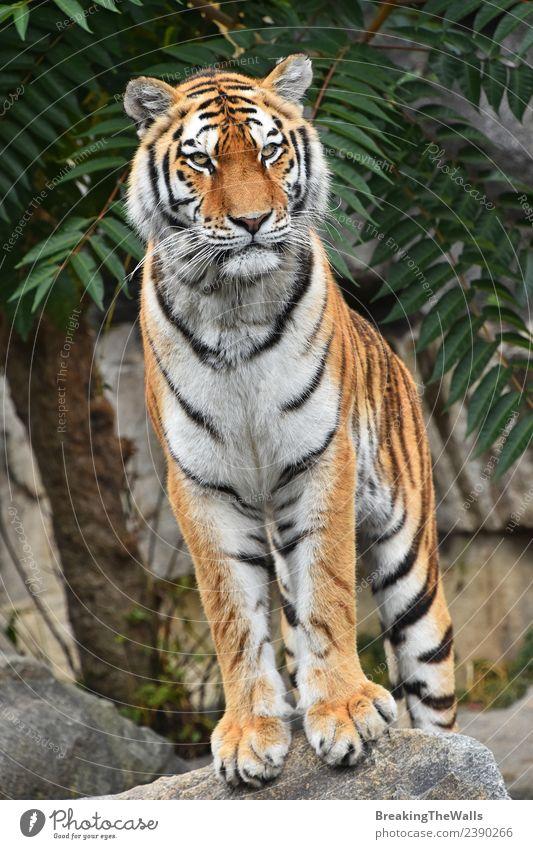 Nahaufnahme des Vorderbilds eines jungen sibirischen Tigers in voller Länge. Natur Tier Felsen Wildtier Katze 1 Stein beobachten stehen niedlich wild