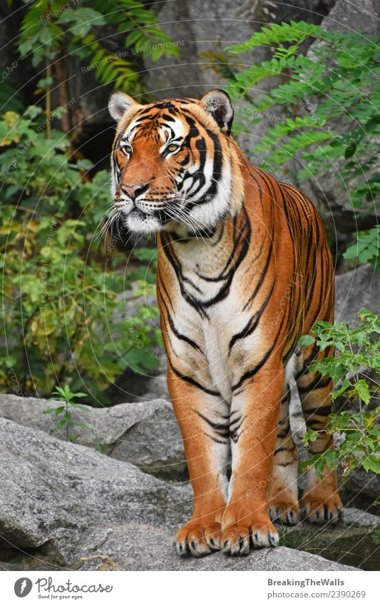 Nahaufnahme des Vorderbilds des indochinesischen Tigers in voller Länge Natur Tier Baum Wald Urwald Felsen Wildtier Katze Tiergesicht Zoo 1 Stein beobachten