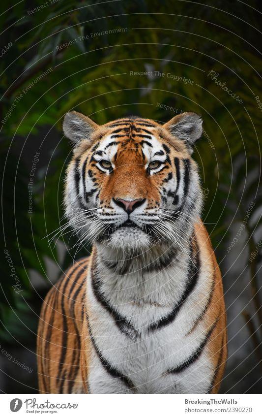 Nahaufnahme des sibirischen Tigers mit Blick auf die Kamera Natur Tier Baum Wald Wildtier Katze Tiergesicht Zoo 1 wild grün amur jung Panthera Tigris altaica