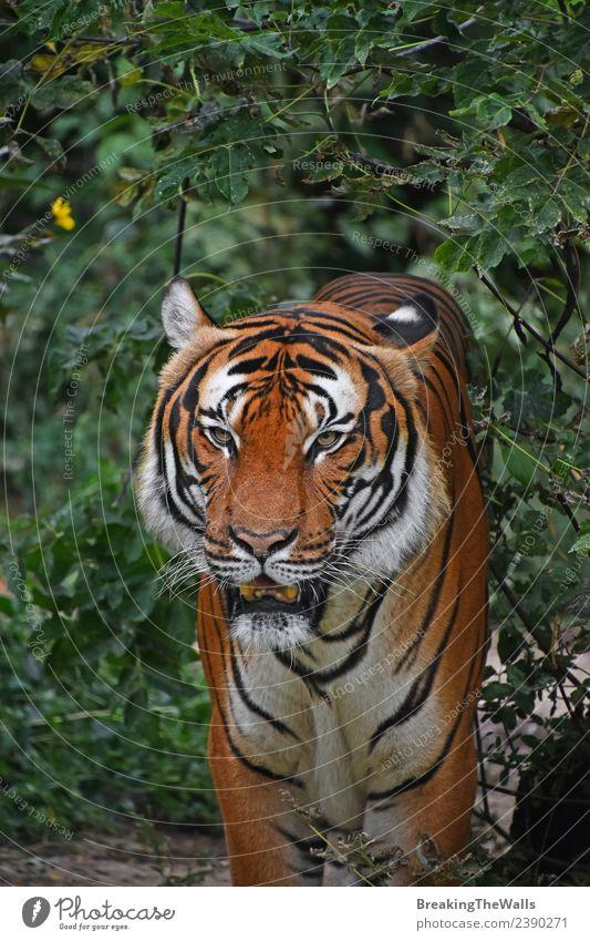 Nahaufnahme des Vorderbilds eines männlichen indochinesischen Tigers Natur Tier Baum Wald Urwald Wildtier Katze Tiergesicht Zoo 1 beobachten stehen wild grün