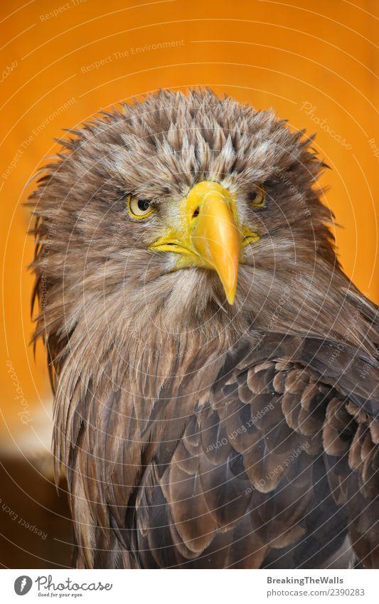 Nahaufnahme des Vorderbilds eines Seeadlers mit weißem Schwanz. Natur Tier Wildtier Vogel Tiergesicht 1 beobachten groß wild braun gelb Wachsamkeit Adler orange