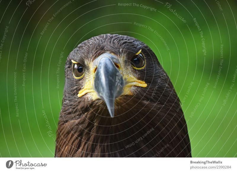 Nahaufnahme des Vorderbilds des Steinadlers mit Blick auf die Kamera Natur Tier Sommer Gras Wildtier Vogel Tiergesicht Zoo 1 beobachten dunkel wild braun gold