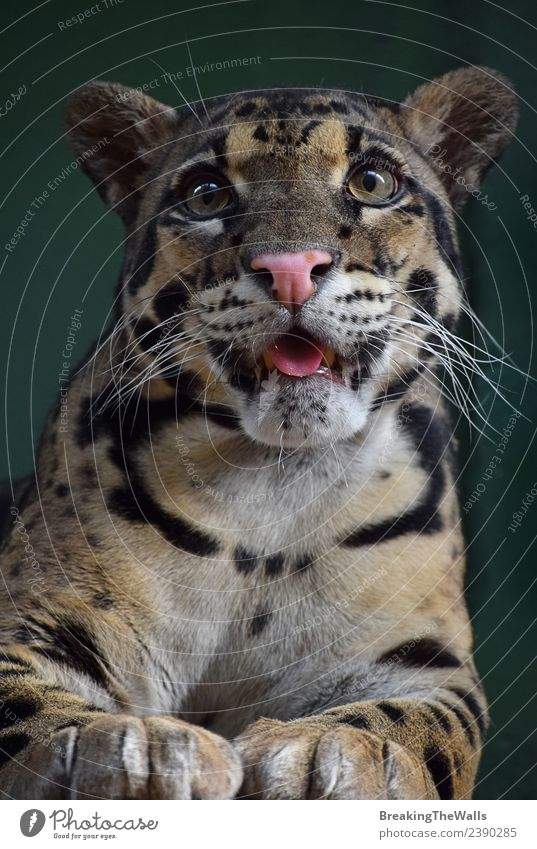 Nahaufnahme Frontporträt eines jungen, getrübten Leoparden Tier Wildtier Tiergesicht Zoo Raubkatze Katze Auge 1 Tierjunges wild Vorderseite Zunge Schnauze