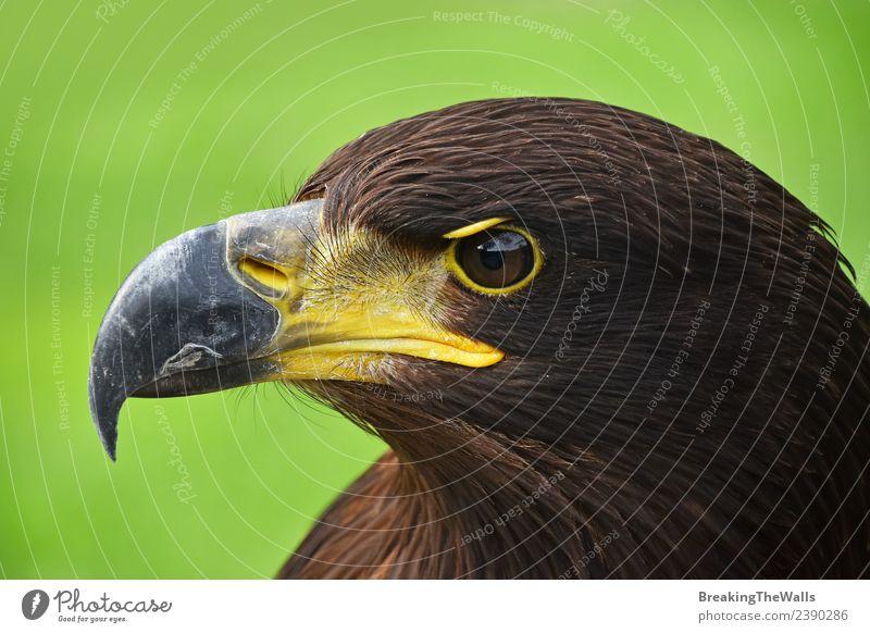 Nahaufnahme des Profilporträts des Steinadlers über Grün Natur Tier Gras Wildtier Vogel Tiergesicht Zoo 1 beobachten dunkel wild braun grün Wachsamkeit Adler