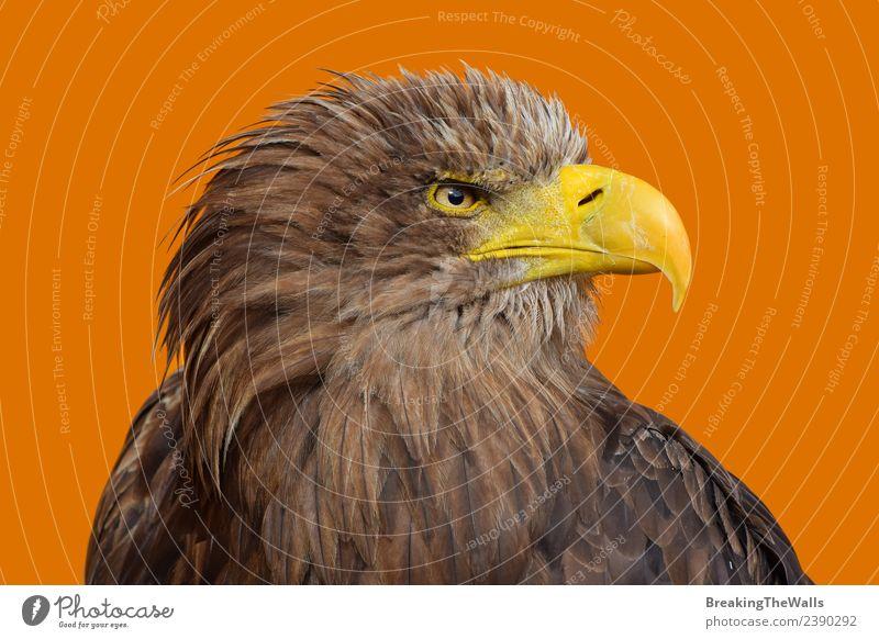 Nahaufnahme des Porträts des Seeadlers mit weißem Schwanz. Natur Tier Wildtier Vogel Tiergesicht Zoo 1 beobachten groß wild braun gelb orange Wachsamkeit Adler