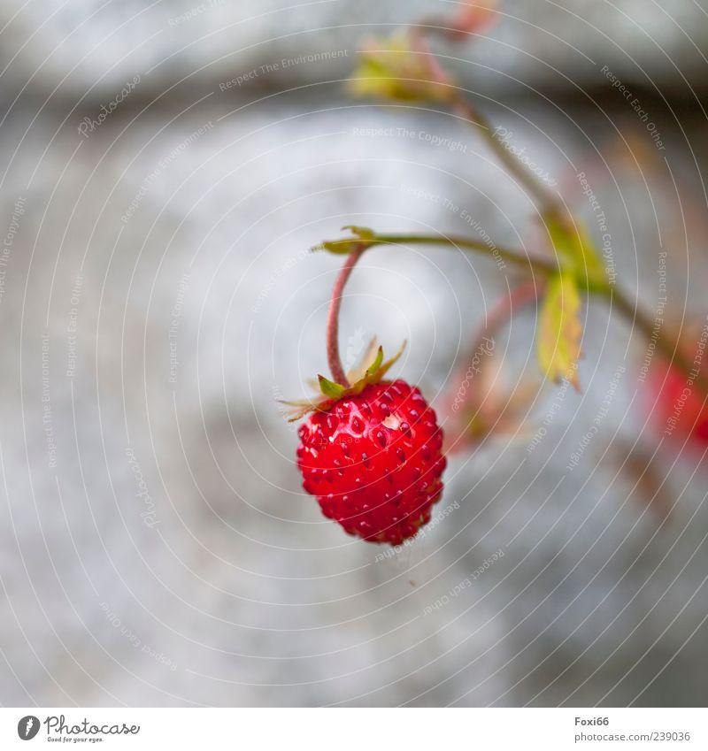 süßes Früchtchen Particula Day rot Pflanze Sommer gelb Lebensmittel grau klein Gesundheit Frucht glänzend frisch genießen lecker reif hängen