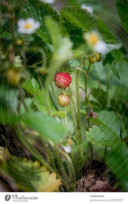 Wilde Erdbeere Erdbeeren Natur Pflanze Frühling Blatt Blüte Wildpflanze Erdbeerblüte Garten Blühend Wachstum ästhetisch Duft frisch schön lecker saftig gelb