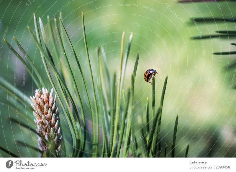 Umkehrpunkt Natur Pflanze Tier Schönes Wetter Baum Gras Kiefer Kiefernadeln Garten Wald Käfer Marienkäfer 1 krabbeln schön rund stachelig braun grün orange weiß