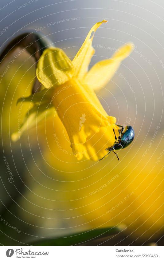 Himmelblauer Blattkäfer auf einer Narzissenblüte Natur Pflanze Tier Frühling Blume Blüte Knollengewächse Frühlingsblume Garten Park Käfer 1 Blühend Duft