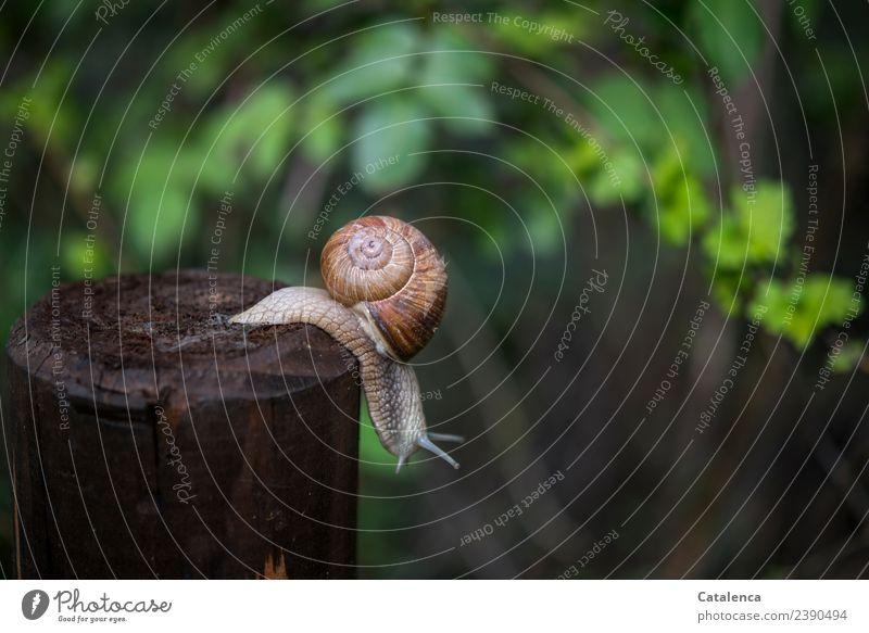 Eine Weinbergschnecke die von einem Zaunpfahl kriecht Natur Pflanze Tier Frühling Hecke Weissdorn Garten Schnecke Weinbergschnecken Holz hängen glänzend