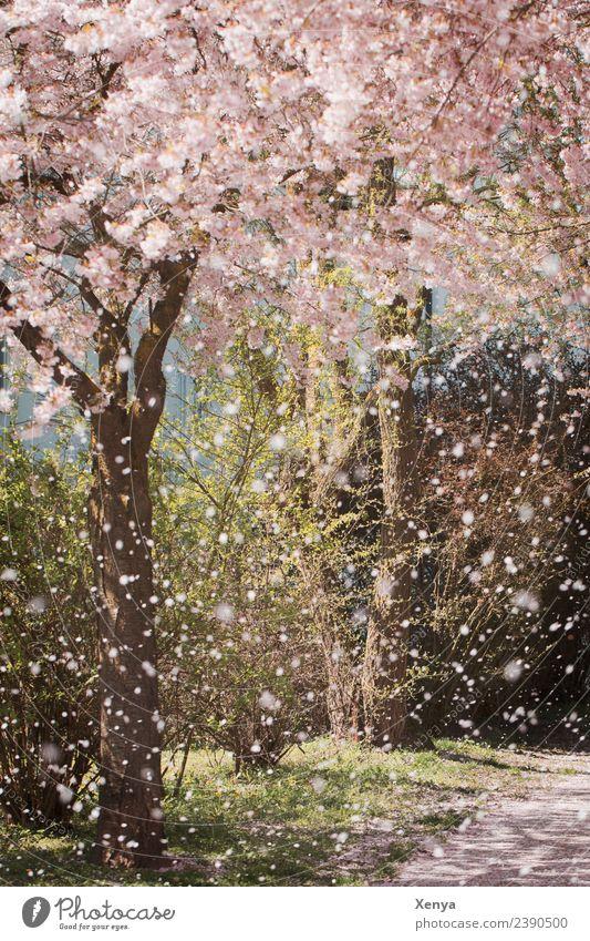 Frühlingsbeginn Natur Baum Park Blühend rosa Romantik Mandelblüte Spaziergang Farbfoto Außenaufnahme Menschenleer Tag Pflanze Umwelt Duft Frühlingsgefühle