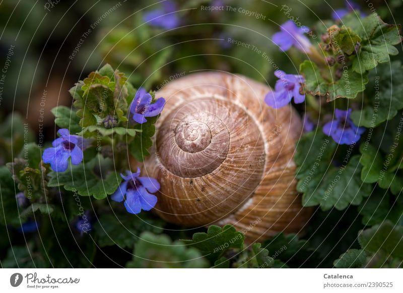 Schneckenhaus und blaue Blümchen Natur Pflanze Tier Frühling Blatt Blüte Unkraut Gundermann Blüten Garten Wiese Weinbergschnecken 1 Blühend Wachstum ästhetisch