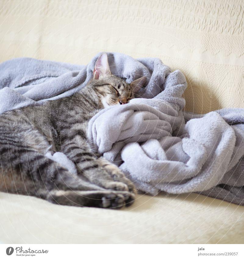 schnuckel Sofa Tier Haustier Katze Tiergesicht Pfote 1 liegen schlafen Decke Farbfoto Innenaufnahme Menschenleer Textfreiraum oben Textfreiraum unten