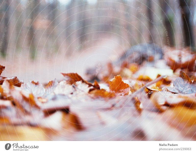 Herbstlaub Natur Pflanze Blatt Wald Menschenleer gold Fußweg Farbfoto Außenaufnahme Dämmerung Schwache Tiefenschärfe Herbstfärbung Textfreiraum