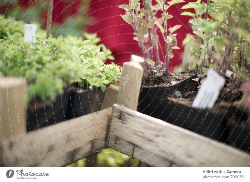 für den Kräutergarten Garten einrichten Natur Pflanze Frühling Blume Grünpflanze Nutzpflanze Kräuter & Gewürze Salbei Thymian Minze Wachstum Duft Gesundheit