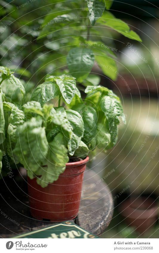 es darf nicht fehlen! Natur grün Pflanze Frühling Garten Gesundheit Wachstum Kochen & Garen & Backen Kräuter & Gewürze Duft verschönern Nutzpflanze Wildpflanze Basilikum Italienisch verfeinern