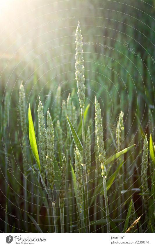 Wachstumsphase Natur grün schön Sonne Sommer Umwelt Landschaft Frühling hell Feld Textfreiraum Grünpflanze