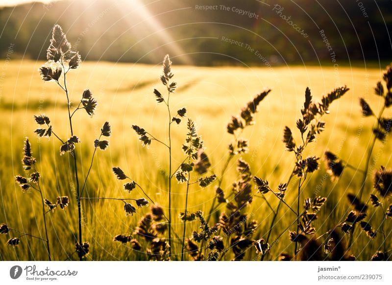 Glücksmoment Natur Sonne Pflanze Sommer Ferne Umwelt gelb Landschaft Gras hell Wetter Feld gold Schönes Wetter