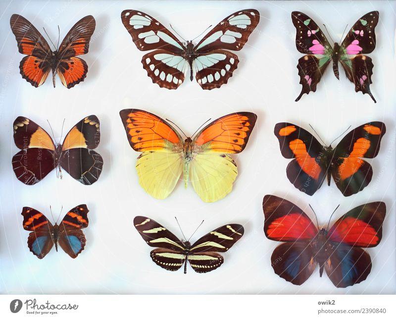 Farbkasten Schmetterling Tiergruppe Sammlung exotisch Zusammensein trocken viele blau braun mehrfarbig violett orange rot einzigartig Ordnung planen schön