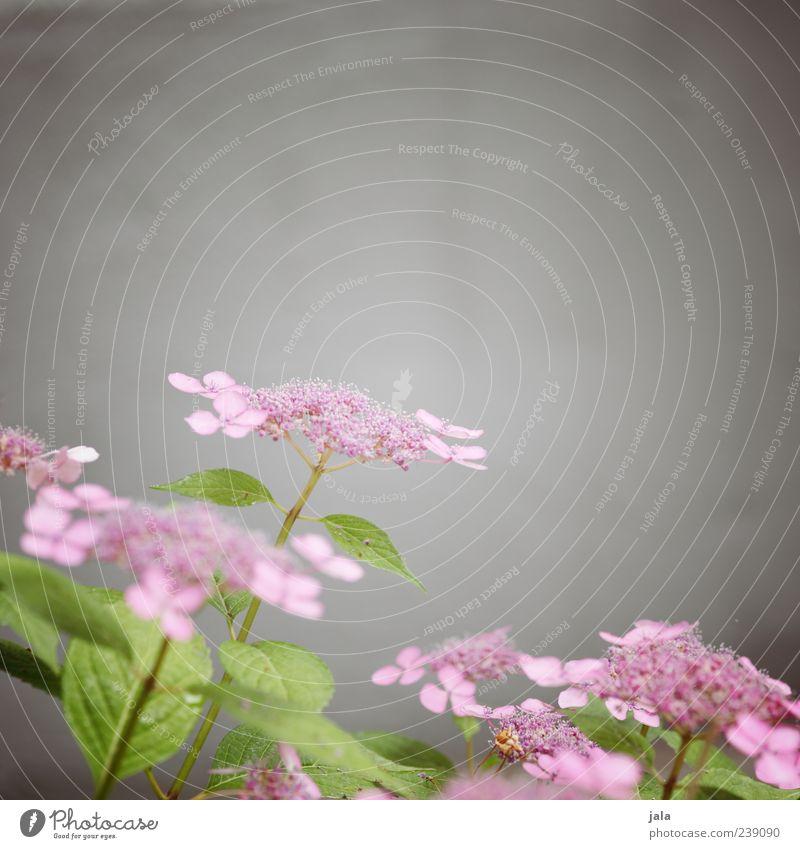 zart grün schön Pflanze Blume Blatt grau Blüte rosa Fassade Wachstum Sträucher zart fein Frühlingsgefühle zartes Grün