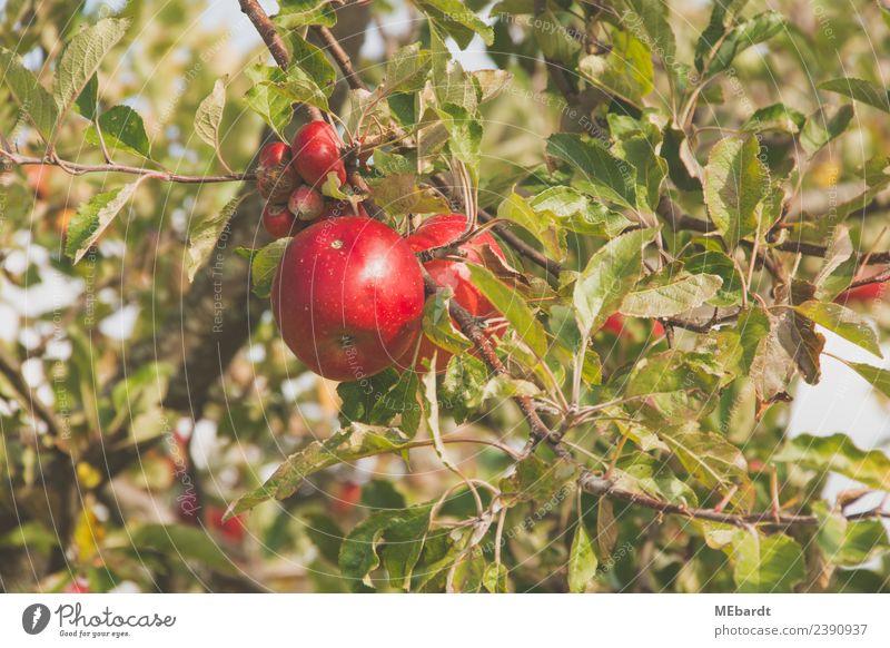 Frische rote Äpfel im September hängen am Baum Frucht Apfel Ernährung harmonisch Sommer Sonne Landwirtschaft Forstwirtschaft Natur Landschaft Wolken Wetter