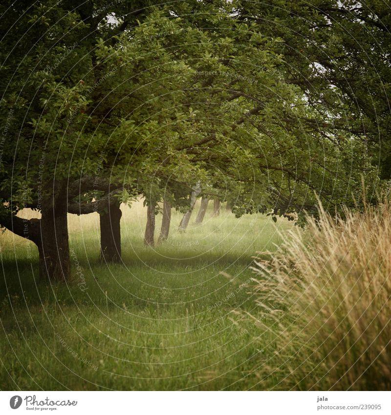 obstwiese Natur grün Baum Pflanze Landschaft Wiese Gras Sträucher Landwirtschaft Forstwirtschaft Grünpflanze Nutzpflanze Obstbaum Obstbau natürliche Farbe