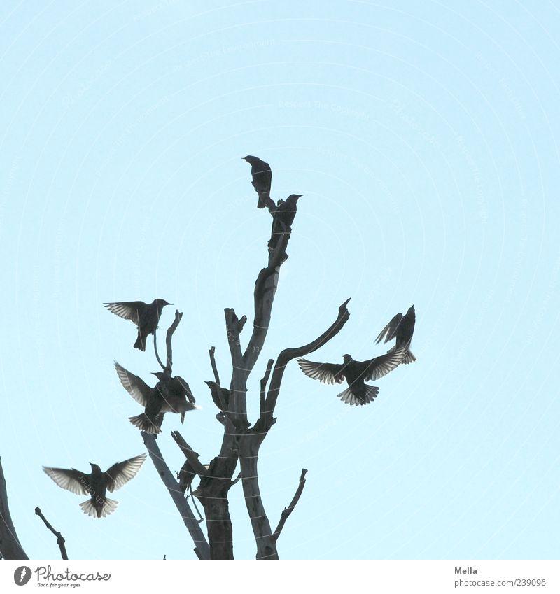To be a Star Umwelt Natur Himmel Pflanze Baum Ast Baumkrone Tier Vogel Tiergruppe Schwarm fliegen hocken sitzen Zusammensein natürlich Bewegung kahl Geäst