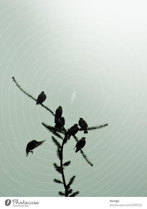 Ich treff dich Natur Sonnenlicht Pflanze Baum Tier Vogel Tiergruppe sitzen warten Amsel Fichte singen Pfeifen Farbfoto Außenaufnahme Textfreiraum rechts