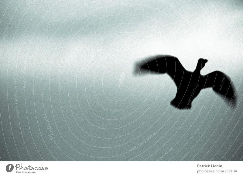 follow me Luftverkehr Umwelt Natur Tier Himmel Wolken Wildtier Vogel Flügel 1 fliegen dunkel hell grau anstrengen ästhetisch einzigartig elegant Freiheit
