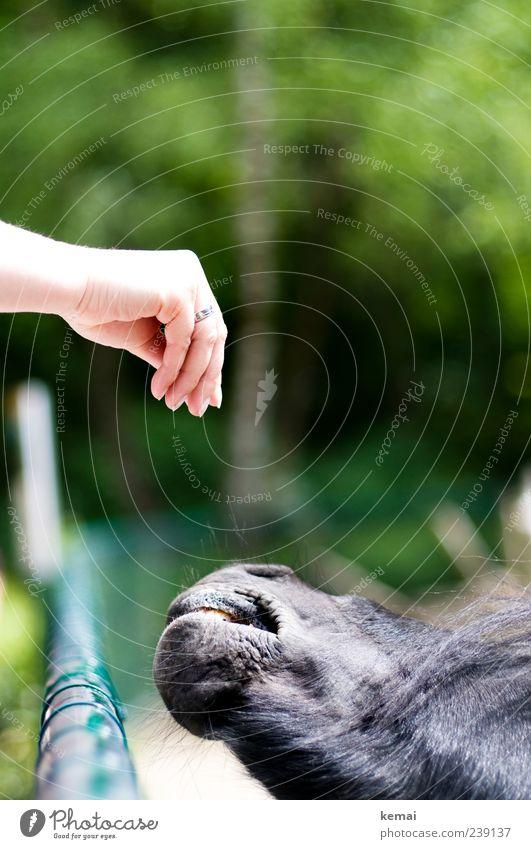 Füttern Hand Finger Natur Park Tier Nutztier Pferd Zoo Streichelzoo Schnauze Kopf 1 Zaun füttern grün Vertrauen Tierliebe Appetit & Hunger Ponys Farbfoto